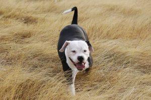 imagen de un pitbull blanco y negro jugando en el campo