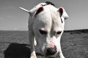 imagen de un pitbull buscando en el campo