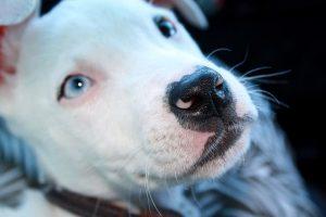 imagen de un pitbull cachorro sorprendido