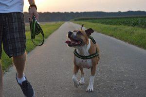 imagen de un pitbull paseando por la calle junto al campo