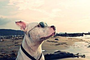 imagen de un pitbull posando en la playa