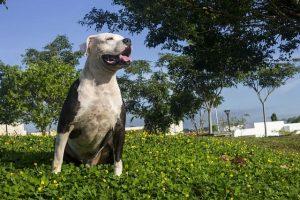 imagen de un pitbull posando junto a casa