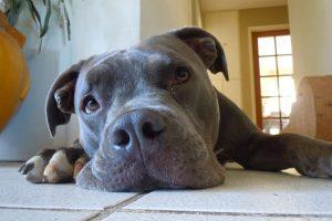 imagen de un pitbull tumbado en el suelo de casa