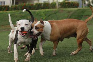 imagen de unos pitbulls jugando en el jardin
