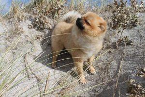 imagen de un pomerania cachorro disfrutando de la brisa del mar en la playa