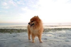 imagen de un pomerania disfrutando de la playa