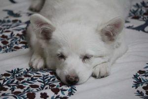 imagen de un pomerania japones tumbado en la cama dormido