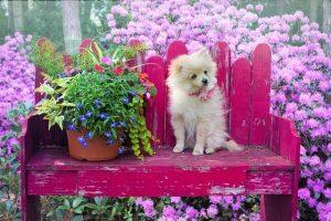 imagen de un pomerania marron claro en un banco rosa con flores