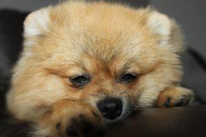 imagen de un pomeranian cachorro dormido en el sofa