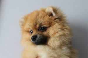 imagen de un pomerannia cachorro tumbado boca arriba