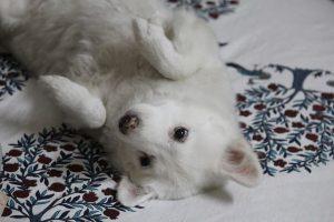 imagen de un pommeria japones tumbado en la cama boca arriba