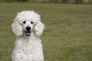imagen de perro caniche blanco