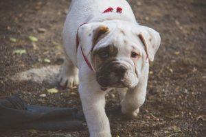 imagen de un precioso cachorro de buldog ingles