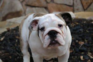 imagen de un precioso cachorro de bulldog ingles en casa