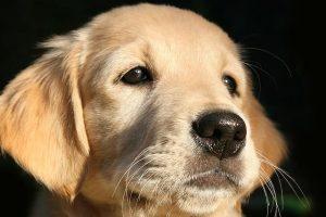 imagen de un precioso cachorro de golden retriever