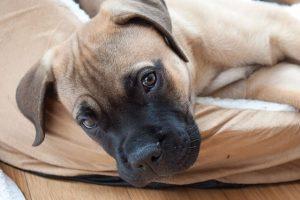 imagen de un precioso cachorro de mastín inglés tumbado en el sofa