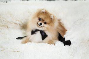 imagen de un precioso pomerania tumbado en una alfombra blanca