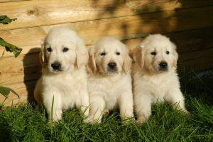 imagen de un preciosos cachorros de golden retriever sentados en el jardin