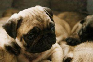 imagen de un pug cachorro