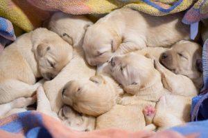 imagen de una camada de pug recién nacidos