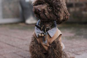 Imagen de un caniche cachorro